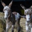 Ослята-близнецы родились в Великобритании