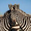 Левая или правая? Оптическая иллюзия с головой зебры запутала сеть