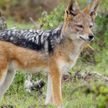В Налибокской пуще зоологи впервые заметили золотистого шакала (ВИДЕО)