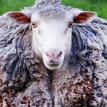 Пропавшая при пожаре овца вернулась к хозяевам спустя семь лет