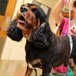 В Англии собака за пять лет похудела на 9 кило, но потом снова набрала вес из-за пандемии