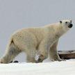 Россиянин чудом выжил после нападения белого медведя