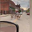 В США по центру города прогулялось стадо оленей (ВИДЕО)