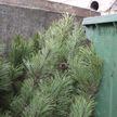 Новогодние елки отправят на переработку