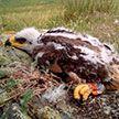 Российские орнитологи оказались на грани разорения из-за славшего дорогие сообщения орла