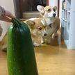 «Страшно, очень страшно!»: 10 фотографий собак, которые боятся котят, кабачков и других безобиднейших вещей