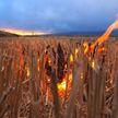 Дети подожгли поле пшеницы около Дзержинска