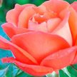 Уход за розами ранней весной. Рассказываем, как правильно обрезать и подкармливать