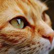 У рыжего кота проснулся отцовский инстинкт: он принес домой котенка и заботится о нем