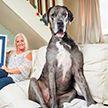 Самый высокий в мире пес установил новый рекорд