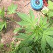 У гомельчанина нашли целый парник конопли. Он выращивал её на продажу