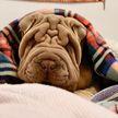 Похожая на одеяло собака стала звездой Instagram. Посмотрите на это милейшее создание!