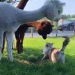 Любопытные альпака обследовали кошку. Но так и не поняли, кто это был (ВИДЕО)
