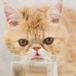 Кот взял чашку в лапу, попил воды и шокировал хозяев (ВИДЕО)