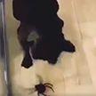 Пес испугался игрушечного паука и позабавил соцсети