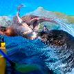 Тюлень ударил каякера осьминогом в Новой Зеландии