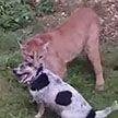 Сбежавшая «домашняя» пума напала на собаку в Подмосковье: пса спасли сотрудники МЧС