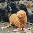 Российский биолог обнаружил редкого морского котика-альбиноса (ФОТО)