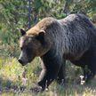 Медведь разрыл могилу и утащил тело покойника