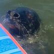 «На доске хватило места»: тюлень устал плыть, но посреди моря оказался только сапсерфер