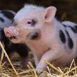 Мини-пиги и мини-тигры: как селекционеры выводят новые породы миниатюрных животных