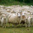 Стадо баранов перекрыло дорогу, чтобы спасти раненую овцу (ВИДЕО)