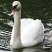 У лебедей в Ботаническом саду впервые появились птенцы
