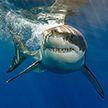 Акула укусила дайвера за голову, но тот выжил (Видео)