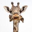 Редкое фото: жираф чистит зубы
