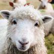 Странное видео: овцы замерли на холме, будто их «поставили на паузу»