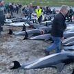 Океан в крови: на Фарерах убили полторы тысячи дельфинов