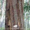 Бурый медведь замечен в лесу под Ивацевичами