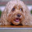 Хозяйка отчитала своего пса – его виноватый взгляд умилил соцсети