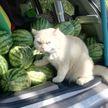 В Таиланде найден самый суровый охранник арбузов. Это кот по кличке Жемчужина, и с ним лучше не связываться!