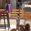 Посмотрите, как четыре собаки, работая по очереди, открыли дверь! Вы такое видели когда-нибудь? (ВИДЕО)
