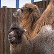 Малыши лам, овец и верблюжонок: в Минском зоопарке бэби-бум