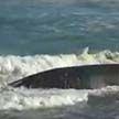 Два кита выбросились на берег Новой Зеландии