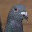 Спорт и голуби: как пернатые готовятся к соревнованиям в России