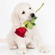 Лабрадор преподнес урок романтики в лучших голливудских традициях (ВИДЕО)