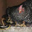 Дружба курицы и змеи озадачила пользователей соцсетей