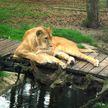 Львы напали на работника зоопарка в Германии