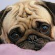 Учёные: грусть в глазах собак – способ манипуляции