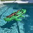Аллигатор загорал в бассейне на другом аллигаторе