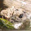 Детёныши редкого вида леопарда впервые после карантина появятся перед посетителями зоопарка Сан-Диего