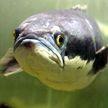 Передвигающаяся по суше хищная рыба из России вторглась в американский штат