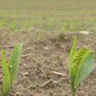 В Гомельской области закончили сев кукурузы на зерно. Из-за погодных условий отстали на две недели