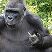 Горилла показала неприличный жест посетителям зоопарка в Бристоле