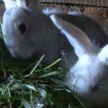 У сельчанина кроликов украли. Двух похитители обменяли на спиртное, третьим закусили
