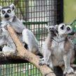 В семье лемуров впервые родился детёныш в Минском зоопарке