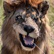 Двойника Шрама из «Король лев» нашли в Африке